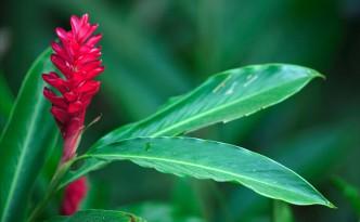 Rotblühene Kurkumapflanze. Aus den Wurzeln wird das Gewürz Kurkuma hergestellt