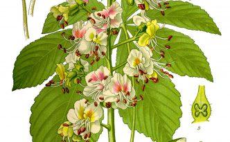 Aesculus hippocastanum - die Roßkastanie.   Quelle: Prof. Dr. Otto Wilhelm Thomé (1885): Flora von Deutschland, Österreich und der Schweiz. Gera.